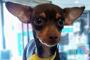 Chihuahua Miniature Pinscher Mix